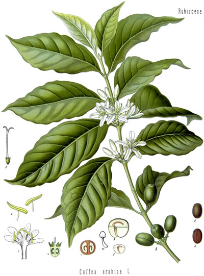 Coffea Arabica Illustration