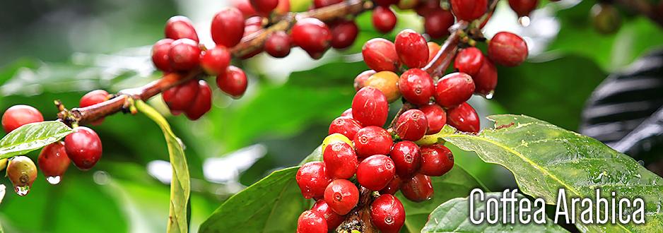 Coffee Arabica Tree